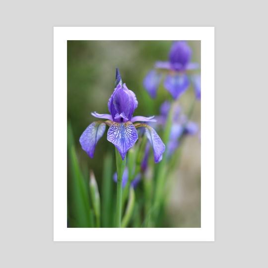 Iris by Carolynn Elwell