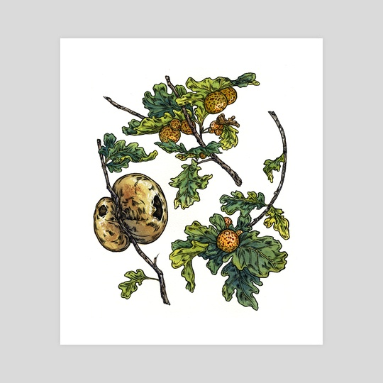 Oak Galls by Emily Poole