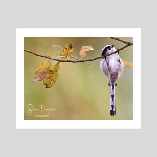 Hanging long-tailed tit by Sam Dogra