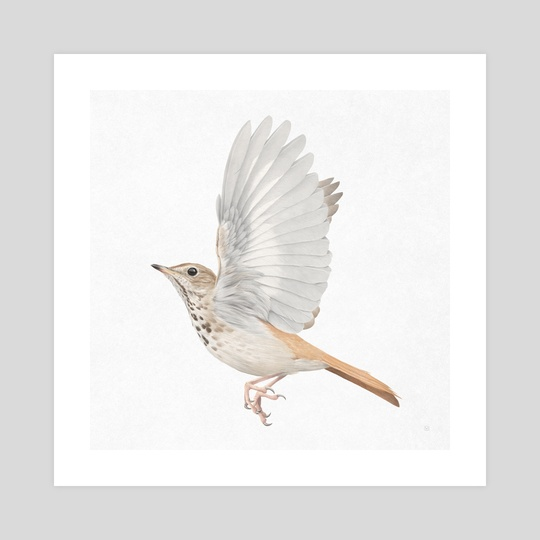 Hermit Thrush by Veronica Park