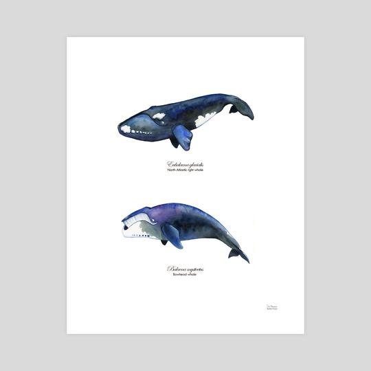 Right Whale and Bowhead Whale Illustration by Skylaar Amann