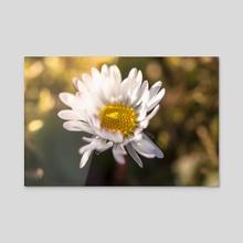 Daisy at sunset - Acrylic by Chiara Cattaruzzi