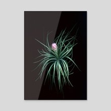 Tillandsia 02 - Acrylic by Black Botanicals