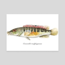 Crenicichla tendybaguassu - Canvas by Rene Martin