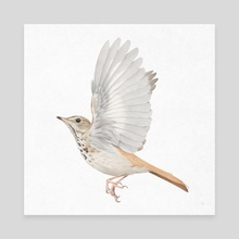 Hermit Thrush - Canvas by Veronica Park