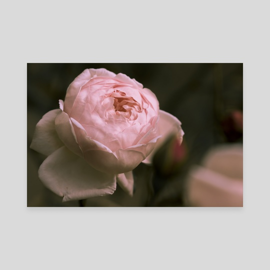 Stawberry Blonde Rose by Eye Spy Nature