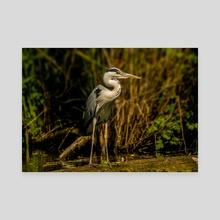 Gray Heron - Canvas by Gvardian Gyula