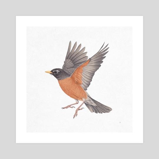 American Robin by Veronica Park