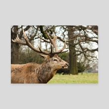 Red deer stag #1 - Canvas by Ryan Wait
