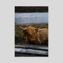 Hairy Coo - Canvas by Claes Staub