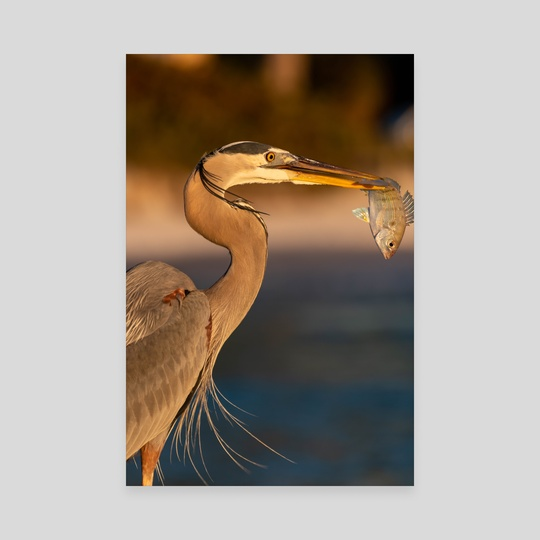 Great Blue Heron Eating Dinner by James Caddy