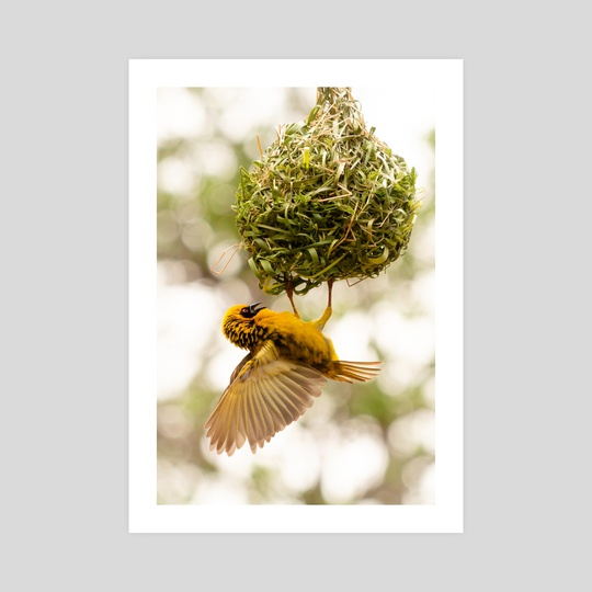 Weaver bird #2 by Ryan Wait