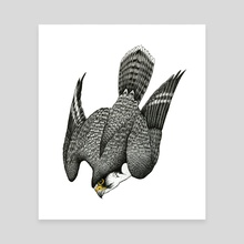 Diving Peregrine Falcon - Canvas by Ian Sullivan Cant