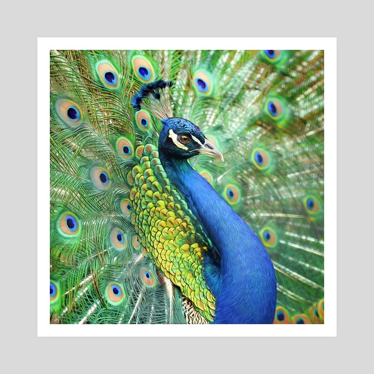 Animals - Peafowl by MURAT SAYGINER