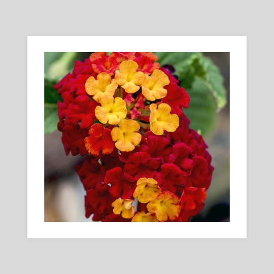 Lantana by Tonia Denice