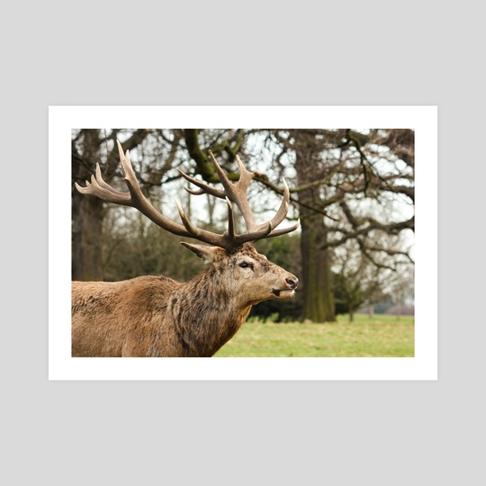 Red deer stag #1 by Ryan Wait