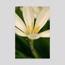 White petals - Canvas by Chiara Cattaruzzi