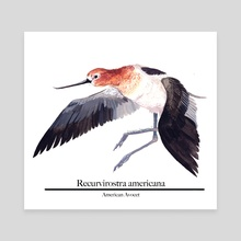 American Avocet - Canvas by Morgan Lynn Denison