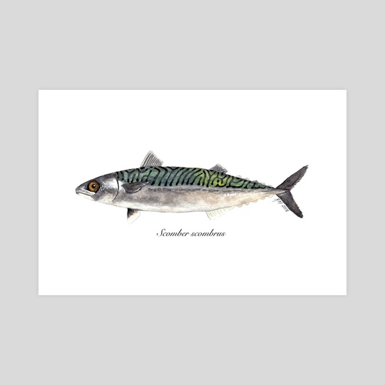Scomber scombrus - Atlantic Mackerel by Rene Martin