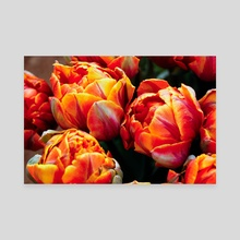 Tulips 5 - Canvas by Michelle Coffeen