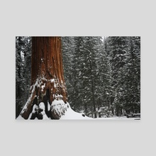 Redwood in the snow - Canvas by Bob Rollar