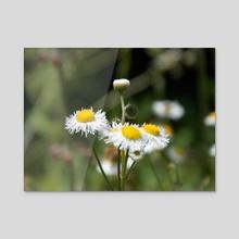 Daisies - Acrylic by Jarred Davis