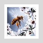 Honey Bee Collecting Manuka Nectar - Art Print by Miko
